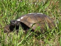 Gophersköldpadda (Gopheruspolyphemusen) royaltyfria bilder