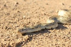 Gophersnake from head to midbody Stock Photos