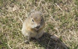 Gophersoort knaagdieren van de eekhoornfamilie royalty-vrije stock foto's