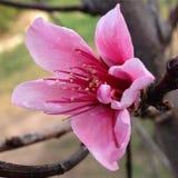 Gorących menchii brzoskwini płaski okwitnięcie obraz stock