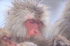 gorąca małpy śniegu wiosna Fotografia Royalty Free