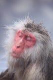 gorąca małpy śniegu wiosna Zdjęcia Stock
