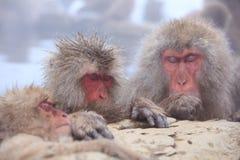 gorąca małpy śniegu wiosna Obraz Stock