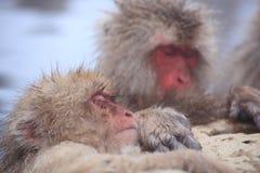 gorąca małpy śniegu wiosna Obrazy Stock