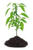 gorące pieprzu roślinnych Fotografia Stock