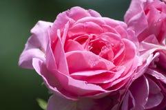 gorące różową różę Obrazy Royalty Free