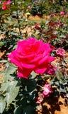 gorące różową różę Zdjęcie Stock
