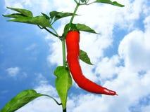 Gorącego chili roślina Zdjęcie Royalty Free