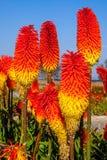 Gorący grzebak Kwitnie niebieskie niebo Fotografia Stock