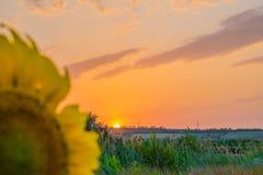Gorący i ciepli kolory i cienie piękni krajobrazy Rosja w Rostov regionie Lokalni pola kwitnący żółci słoneczniki, zdjęcia stock