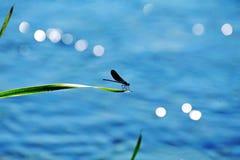 Gorący letni dzień stawowy siedlisko Dragonfly Zdjęcia Royalty Free