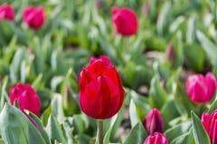 Gorących menchii łóżko wiosna tulipany Zdjęcia Stock