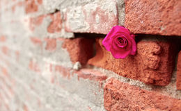 Gorących menchii róża Chował w Szczelinowego cegły i moździerza ściana Zdjęcie Royalty Free