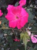 Gorących menchii róża w kwiacie Zdjęcie Stock