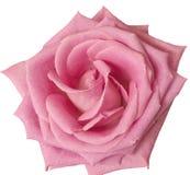 Gorących menchii róży zakończenie up na bielu Obrazy Royalty Free