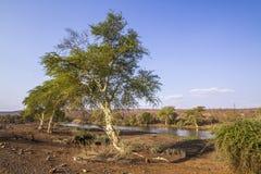 Gorączkowy drzewo w Kruger parku narodowym, Południowa Afryka Fotografia Stock