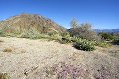 Gorąca Kalifornia pustynia w kwiacie zdjęcie stock