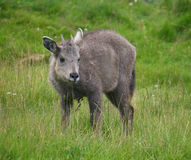 Goral royalty free stock image