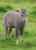 Goral Royalty Free Stock Images