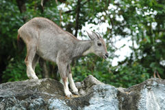 Free Goral Royalty Free Stock Image - 15913546