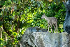 Goral Stock Photography