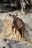 Goral stock images