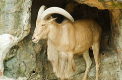 Goral on the cave Stock Photography