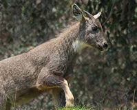 Goral Royalty Free Stock Photos