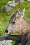 Goral chinois Images stock