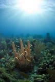 Goral jardina coral da coluna Fotografia de Stock