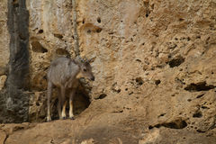 The Goral Stock Image