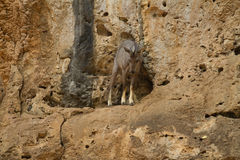 The Goral Royalty Free Stock Photo