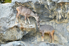 Goral Royalty Free Stock Photography