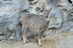 Goral Stock Photo