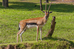 Goral Naemorhedus Stock Image