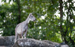 Goral standing on the rock Royalty Free Stock Photo