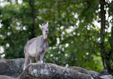 Goral standing on the rock Stock Photography