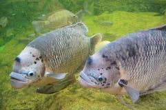 goramy рыб гигантское Стоковая Фотография RF