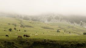 Gorbea山脉,与雾,在巴斯克地区,有母牛和绵羊牧群的在草甸 库存照片