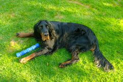 Gorden setter. With toy lying on grass stock photography