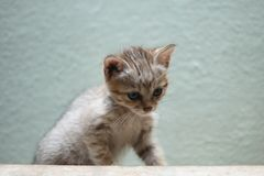 Gordon´s wildcat Stock Images