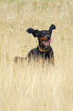 Gordon Setter. In a meadow Stock Photo