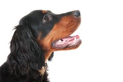 Gordon Setter Stock Photography