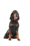 Gordon Setter. Sitting Gordon Setter dog in the studio stock image