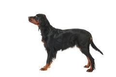 Gordon Setter. In show stand isolated over white background Royalty Free Stock Photography