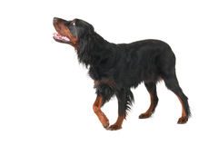 Gordon Setter Royalty Free Stock Photo