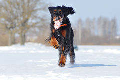 Gordon Setter disfruta de invierno Imagen de archivo