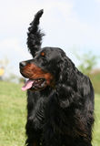 Gordon Setter dog Stock Images