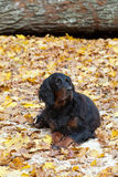 Gordon Setter dog. Royalty Free Stock Photos