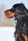 Gordon Setter en invierno Foto de archivo libre de regalías
